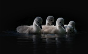 Picture water, light, birds, reflection, black background, kids, swans, Chicks, pond, swimming, cute, brood, the Lebeda