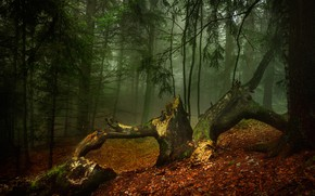 Picture autumn, forest, trees, nature, fog, morning, Alexandrov Alexander