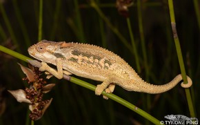 Picture nature, background, chameleon
