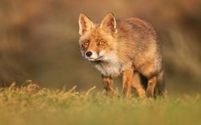 Picture field, grass, look, face, Fox, walk, Fox