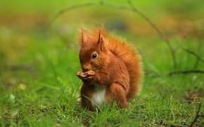 Picture greens, summer, grass, walnut, protein, animal, red, green background, wildlife, rodent