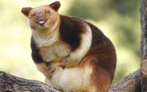 Picture nature, kangaroo, Wallaby