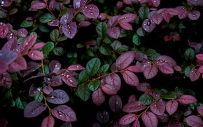 Picture leaves, drops, Rosa, background, plant