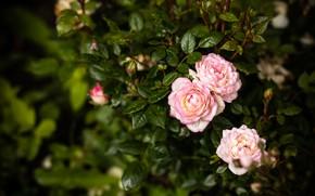 Picture macro, Bush, garden, pink, roses