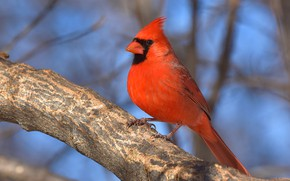 Picture light, branches, bird, branch, blue background, bokeh, cardinal, red cardinal