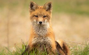 Picture grass, look, face, pose, portrait, Fox, sitting, Fox, Fox