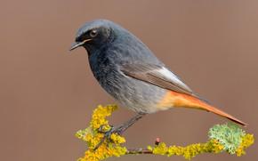 Picture bird, branch, bird, Redstart
