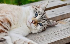 Picture cat, face, lies, blue eyes