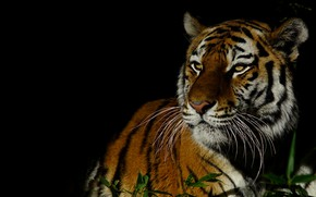 Picture grass, look, face, leaves, light, night, tiger, portrait, contrast, black background