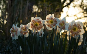 Picture forest, light, flowers, Park, spring, daffodils