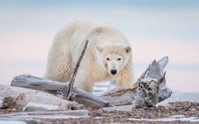 Picture bear, Alaska, snag, polar bear, polar bear