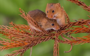 Picture nature, mouse, needles