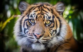 Picture look, face, tiger, portrait, tiger, bokeh, tiger