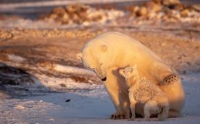Picture polar bear, Fox, Ursus maritimus, Fox lagopus
