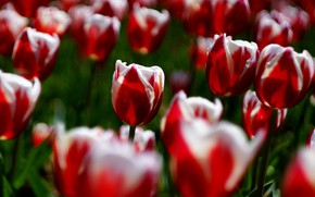 Picture light, flowers, glade, bright, spring, garden, tulips, red, flowerbed, a lot, bokeh, striped