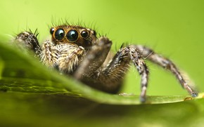 Picture spider, eyes, leaves