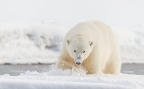 Picture winter, white, look, face, snow, nature, pose, shore, paws, bear, walk, polar bear, pond, sneaks
