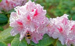 Picture bee, rhododendron, Azalea