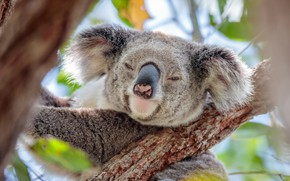 Picture face, on the tree, Koala