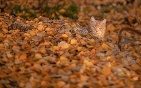 Picture autumn, cat, cat, red, muzzle, fallen leaves, cat, yellow leaves, Константин Владов