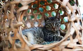 Picture cat, eyes, cat, look, face, pose, comfort, grey, basket, lies, striped, network, hole, Kote, cat …
