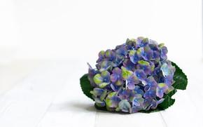 Picture purple, flowers, blue, purple, hydrangea, bloom