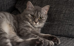 Picture cat, house, sofa, cat, on the couch, seals, British, British cat, cat HD, grey cat …
