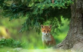 Picture branches, tree, Fox, needles, Fox