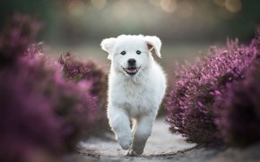 Picture white, joy, flowers, pose, Park, background, paws, garden, running, track, puppy, pink, walk, face, path, …