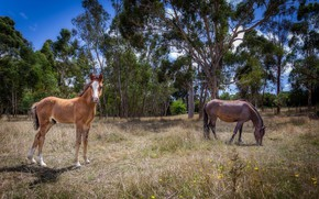 Picture trees, nature, horse, dry grass