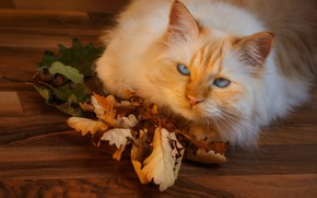 Picture autumn, cat, cat, look, face, leaves, pose, red, flooring, lies, oak, autumn leaves