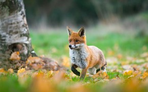 Picture autumn, leaves, foliage, Fox, red