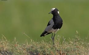 Picture nature, bird, green background, DUELL ©, black bird
