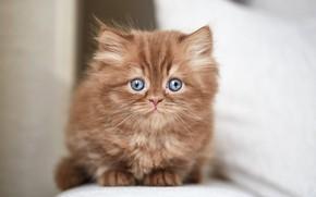 Wallpaper cat, look, kitty, portrait, muzzle, kitty, sitting, light background, British, chocolate, blue-eyed