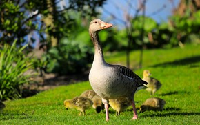 Picture greens, summer, light, birds, glade, spring, walk, kids, goose, the goslings, brood, goose