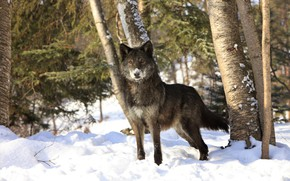 Picture winter, forest, snow, wolf