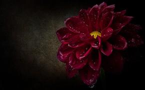 Picture flower, drops, macro, petals, black background, scarlet, Dahlia, water drops, raspberry, lush, Burgundy