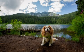 Picture forest, summer, clouds, mountains, nature, shore, dog, pond, the cavalier king Charles Spaniel
