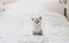 Picture white, look, pose, kitty, background, room, bed, light, baby, bed, cute, blanket, kitty, sitting, blue-eyed, …