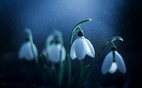 Picture macro, flowers, nature, spring, snowdrops, primroses