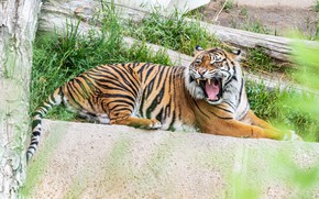 Picture face, tiger, predator, mouth, fangs, grin, lies, growls