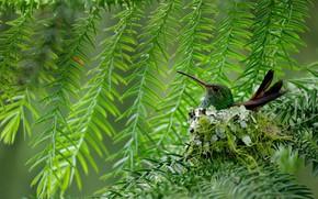 Picture bird, beak, Hummingbird, Costa Rica, korichnevoy amazilia