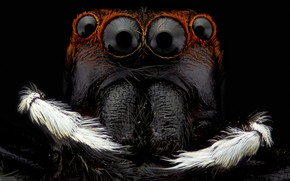 Picture macro, background, black, portrait, spider, insect