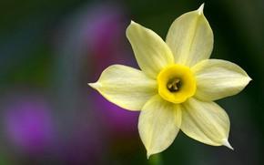 Picture macro, petals, Narcissus