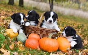 Picture autumn, dogs, grass, look, nature, Park, glade, foliage, dog, garden, puppies, pumpkin, puppy, kids, basket, …