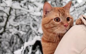Picture winter, cat, cat, look, snow, trees, branches, nature, Park, portrait, red, jacket, walk, mistress, shoulder, …