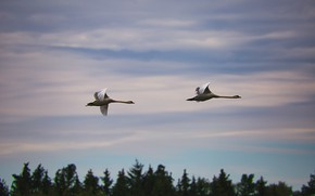Picture forest, the sky, clouds, flight, birds, height, pair, Swan, white, Duo, swans, two, the tops …