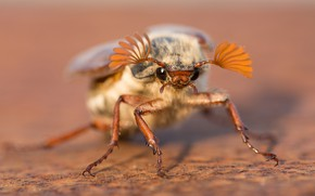 Picture macro, background, beetle, insect, chafer, may