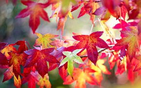 Picture autumn, leaves, branches, bright, red, colorful, the colors of autumn, bokeh, autumn, Japanese maple
