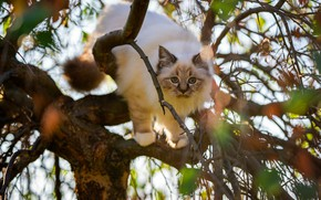 Picture cat, cat, look, leaves, branches, pose, kitty, tree, muzzle, bokeh, ragdoll
